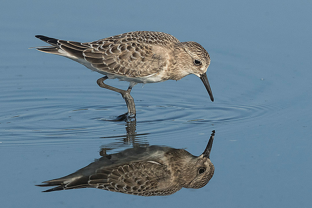 The Baird's Sandpiper is a rare migrant in our area - it is more common in the midwestern USA