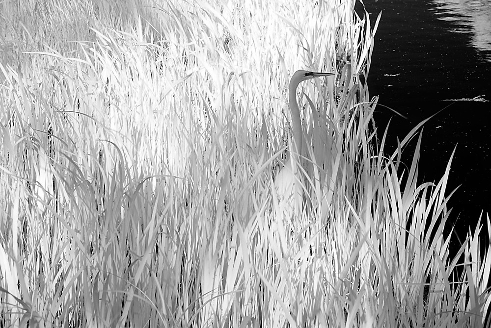 Great Egret in Infra-red Black-and-white digital