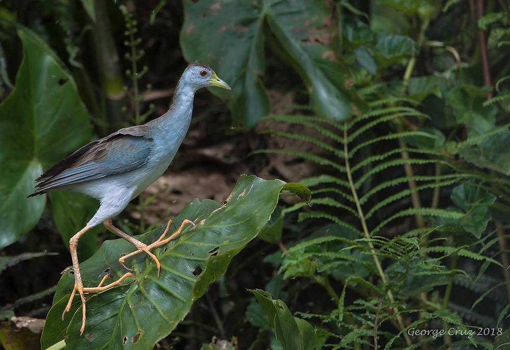 adult Azur Gallinule in South America