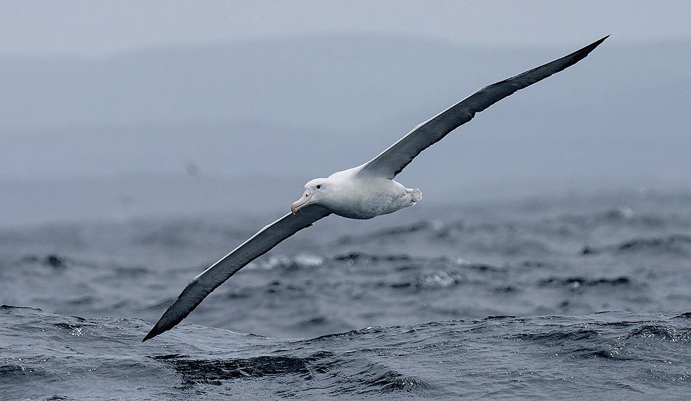 Southern Royal Albatross on 29 November 2019 near Stewart Island, New Zealand