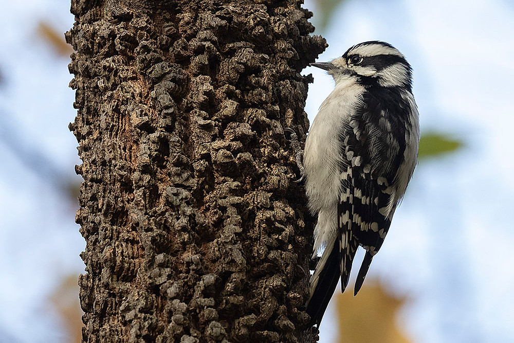 Downy Woodpecker by Deborah Allen on a native Hackberry Tree in the Ramble on Saturday 9 November 2019