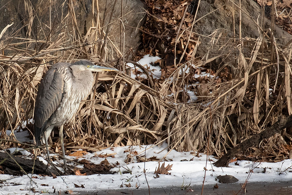 Immature Great Blue Heron, Upper Lobe in Central Park on Sunday, 19 January 2020 by Deborah Allen