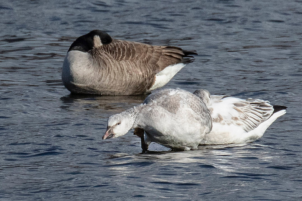 Immature Snow Geese, Reservoir of Central Park by Deborah Allen on Sunday, 19 January 2020