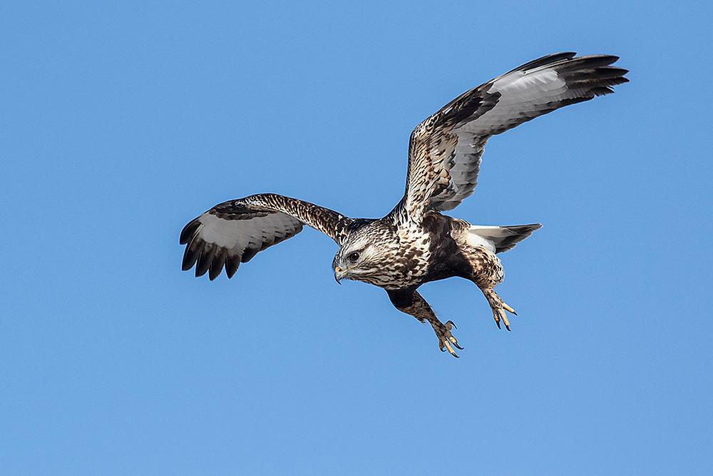 Rough-legged Hawk (female; light morph) by Deborah Allen on 4 February 2020