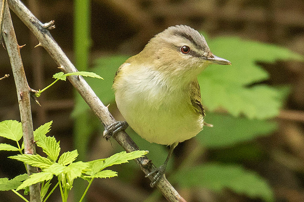 Red-eyed Vireo in Central Park (Ramble) on 11 May 2019 by Deborah Allen