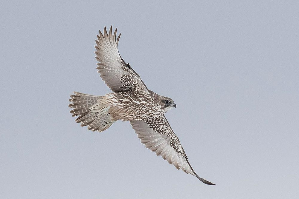 Gyrfalcon (first-winter, grey morph) in flight by Deborah Allen on 8 February 2020ary 4, 2020