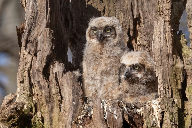 Two Great Horned Owlets at Pelham Bay Park in the Bronx on 14 April 2021 by Deborah Allen. Nest Site visit on 17 April - see details on our web site: www.BirdingBob.com (Schedule page)