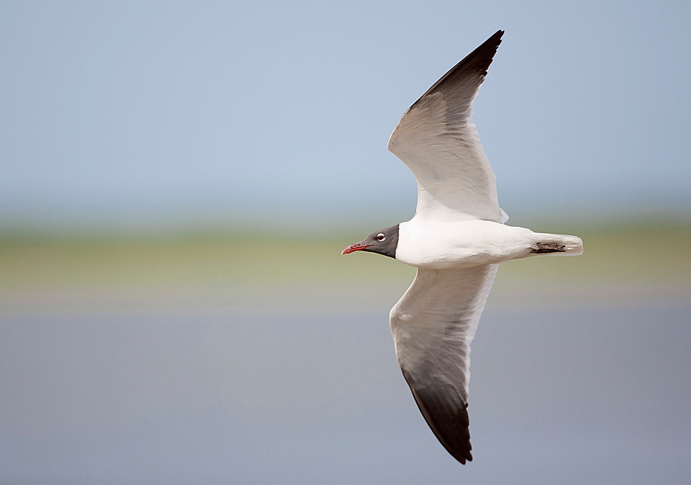 Laughing Gull on 27 June 2015 at Pelham Bay Park in the Bronx