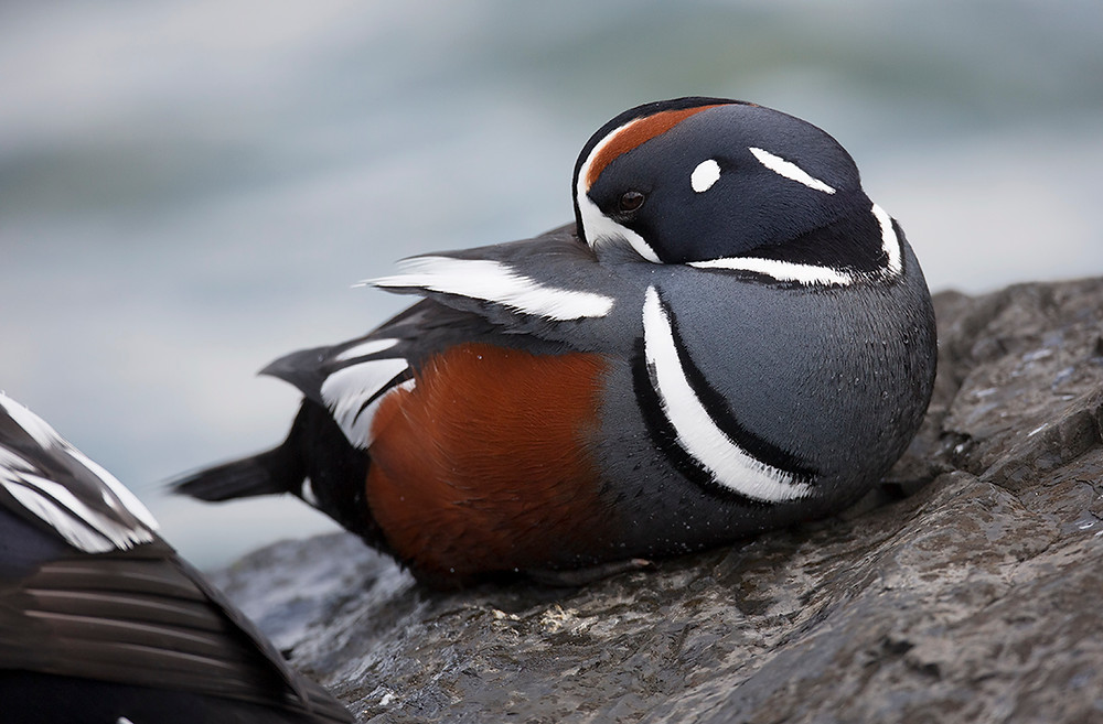 male Harlequin Duck at Barnegat Lighthouse, New Jersey in March 2014