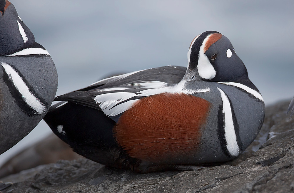 Harlequin Duck (male) at Barnegat Lighthouse Jetty in New Jersey in March 2014