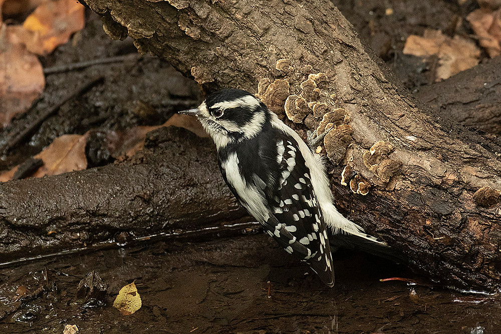 Downy Woodpecker (female) by Deborah Allen at the Gill Overlook in the Ramble (Central Park) on 1 October 2019
