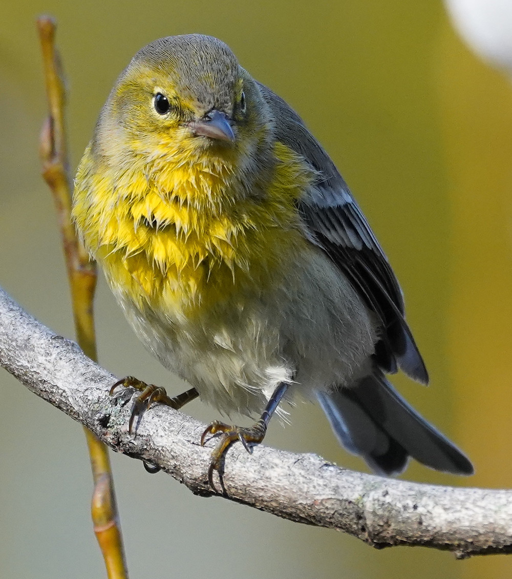 Pine Warbler by Jeremy Nadel on 11 November 2019 at Wagner's Cove (Central Park)