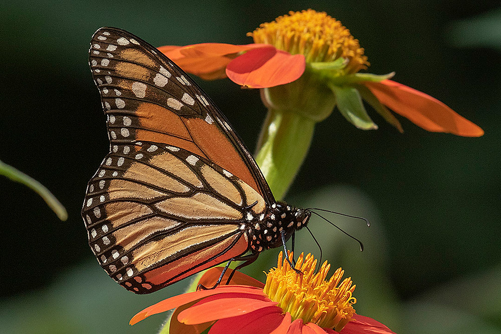 Monarch Butterfly on Mexican Sunflowers in the Bronx, 30 July 2019 by Deborah Allen