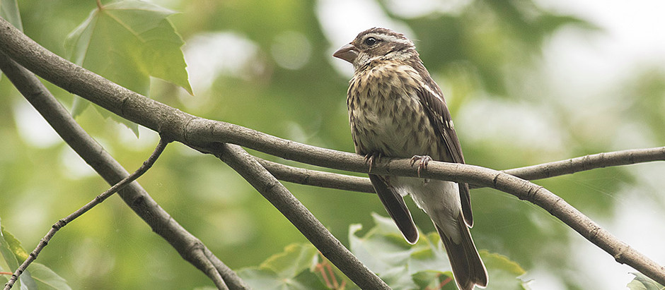 More Migrants Arriving and (Fri to Mon) Bird Walks to find them