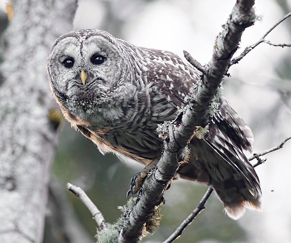 Barred Owl in Washington state (Bellingham) in July 2016