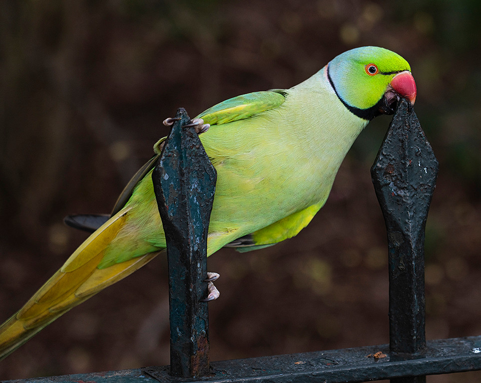 London: Rose-ringed Parakeet in Hyde Park - they readily eat apples from your hand preferring green ones to red. 11 March 2020.