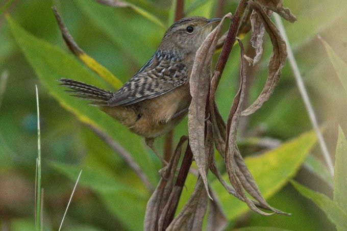 Sedge Wren by Patrick Horan in Pelham Bay Park in the Bronx (Southern Zone) on 5 October 2019. This mega-rare migrant was found by Richard Aracil, another Bronx native
