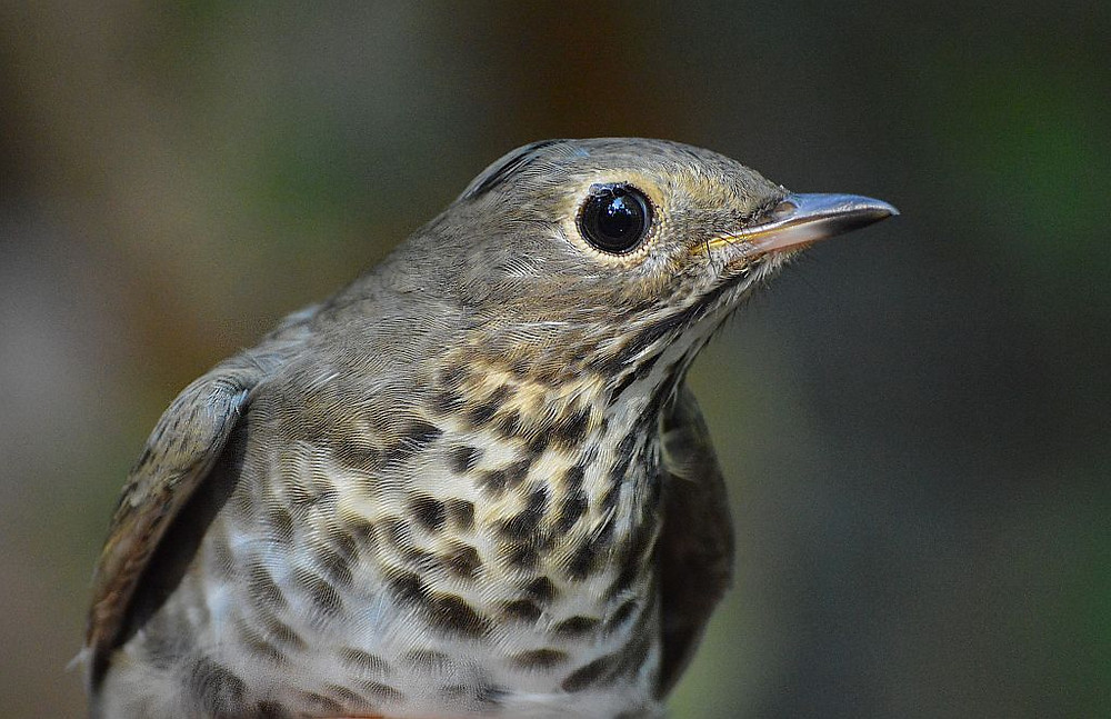 Swainson's Thrush by Doug Leffler; the most common thrush in our area in early October