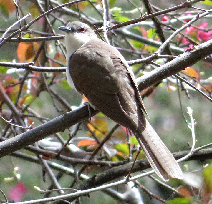 Black-billed Cuckoo in Central Park by Richard Nelson on 29 April 2018