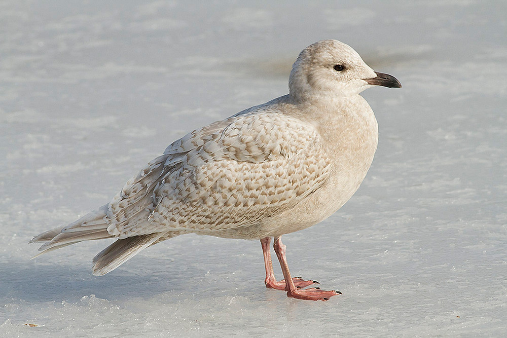 Iceland Gull by Deborah Allen at the Lake, Central Park, February 12, 2013 by Deborah Allen