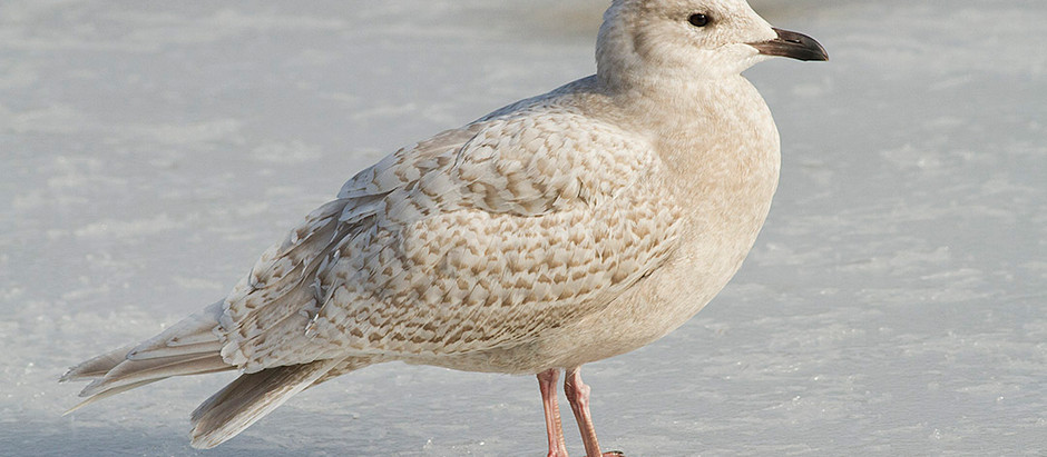 Iceland Gull (Central Park) + Christmas Bird Counts 1919: LI, SI, NJ and CT