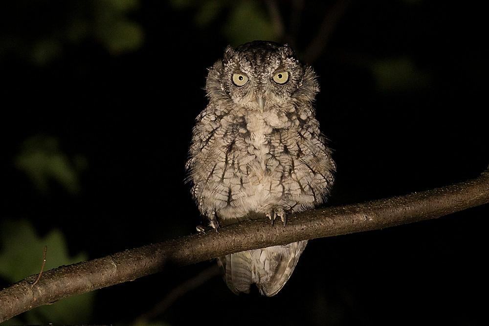 Immature Gray Morph E. Screech-Owl, Inwood Hill Park (Manhattan), Tuesday August 27, 2019 by Deborah Allen