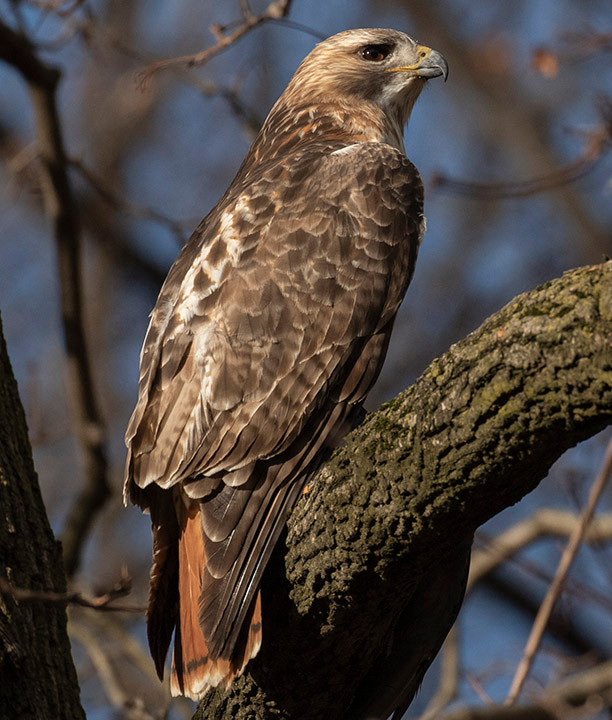 """Adult Male Red-tailed Hawk """"Pale Male"""" by Deborah Allen near Alice in Wonderland statue (Central Park), Sunday January 5, 2020"""