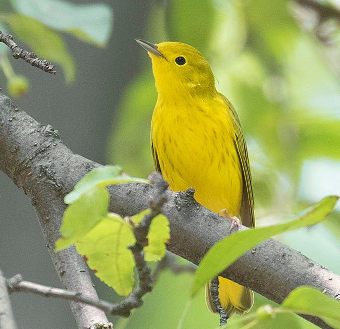 male Yellow Warbler by Deborah Allen at Pelham Bay Park in the Bronx on 6 June 2020