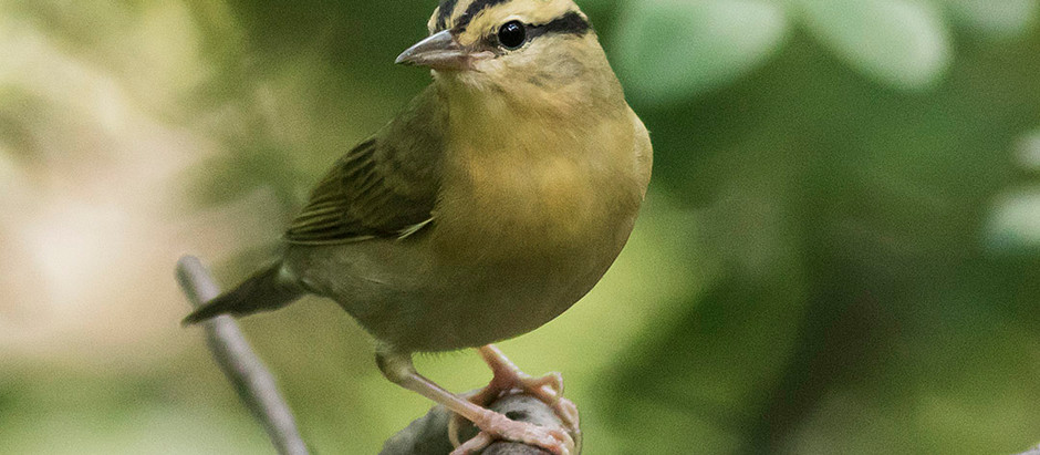 13 Warbler species in two days!