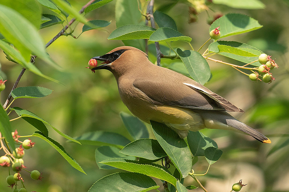 Cedar Waxwing by Deborah Allen on 31 May 2019 at the Pool (105th st) Central Park