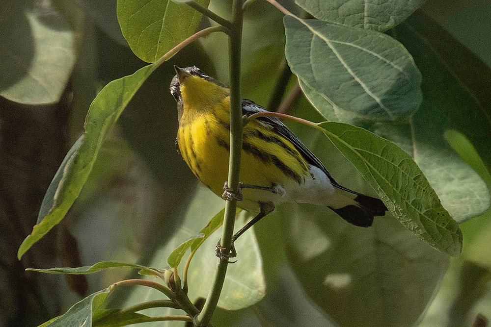 Adult male Magnolia Warbler at the Summer House (Ramble/Central Park) on 21 September 2019 by Deborah Allen