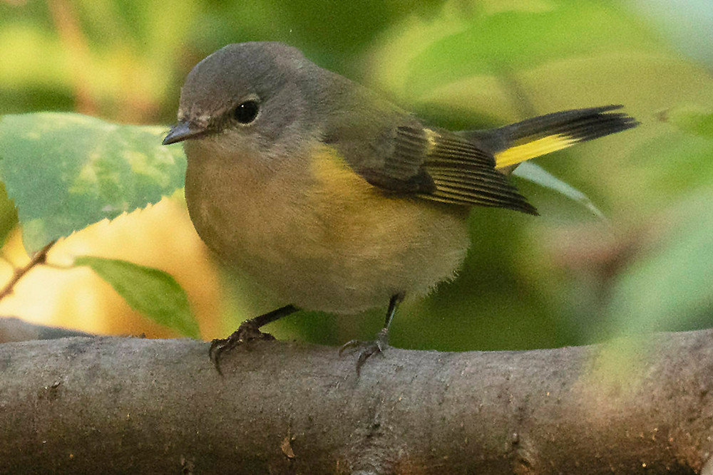 American Redstart Female or Immature Male by Deborah Allen at Azalea Pond (Central Park), Saturday October 26, 2019