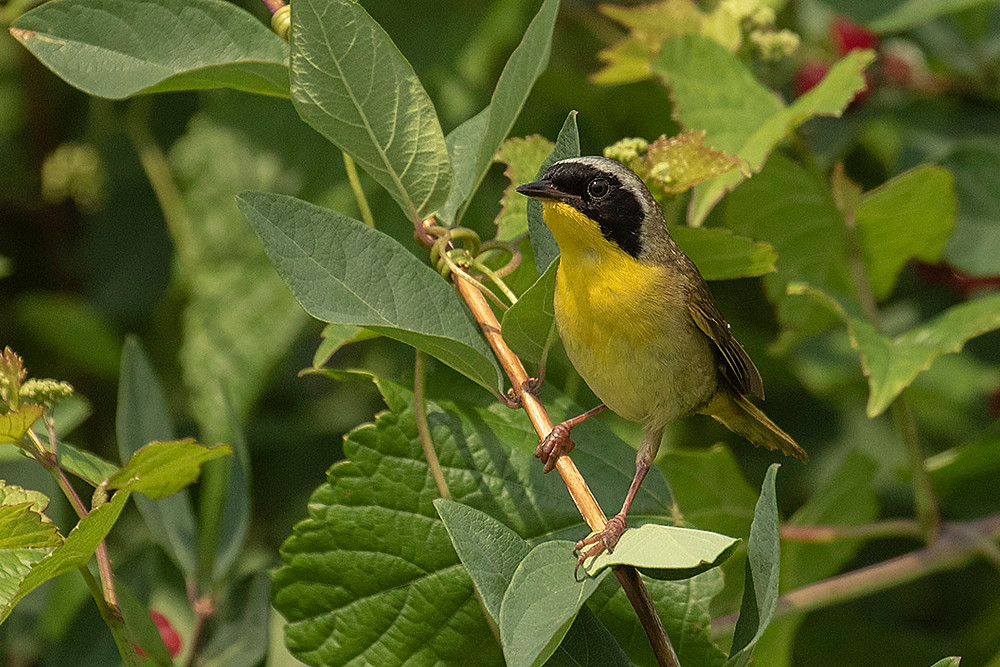 male Common Yellowthroat a fairly common nesting species in Pelham Bay Park (Bx). This photo by Deborah Allen on 29 June 2019