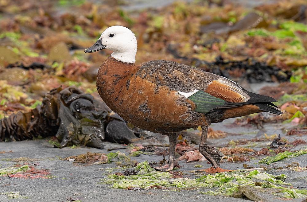 Paradise Shelduck (female) on Stewart Island, New Zealand on 8 December 2019th Island [East Coast] New Zealand) on Friday, 22 November 2019