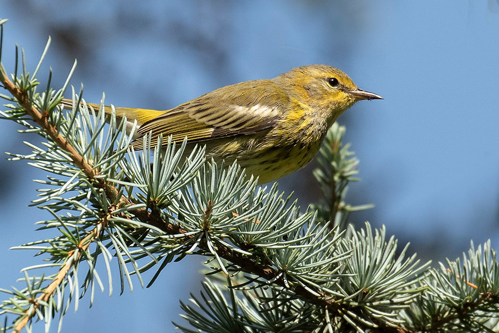 Cape May Warbler in Shakespeare Garden by Deborah Allen on 8 September 2019