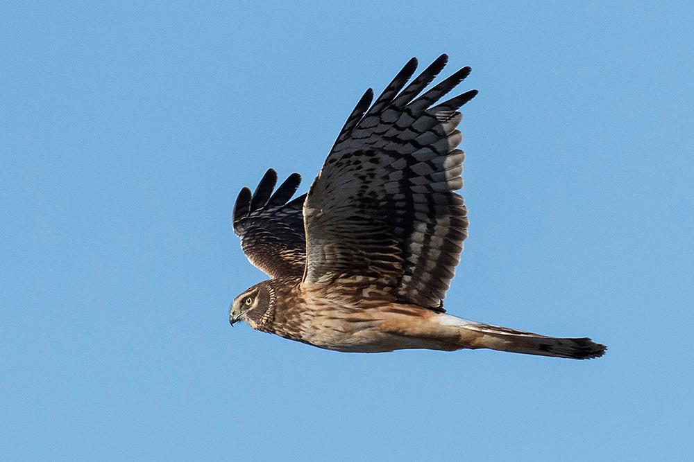 Female Northern Harrier by Deborah Allen in the Fort Pierre National Grasslands of South Dakota on 5 February 2020