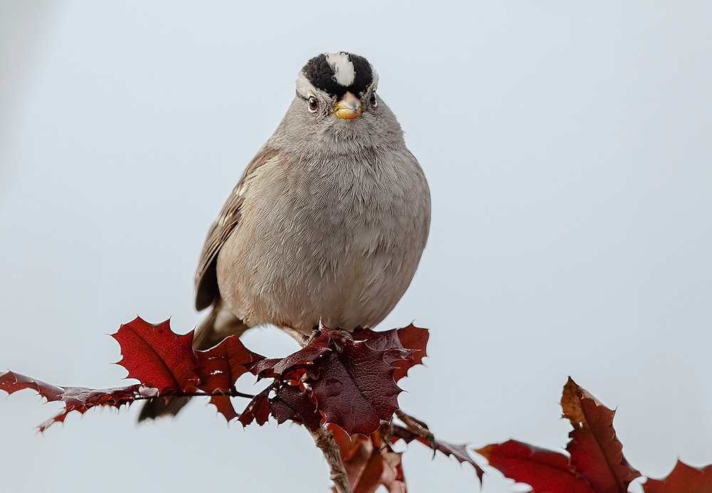 White-crowned Sparrow in Washington state (Bellingham) on 27 January 2019