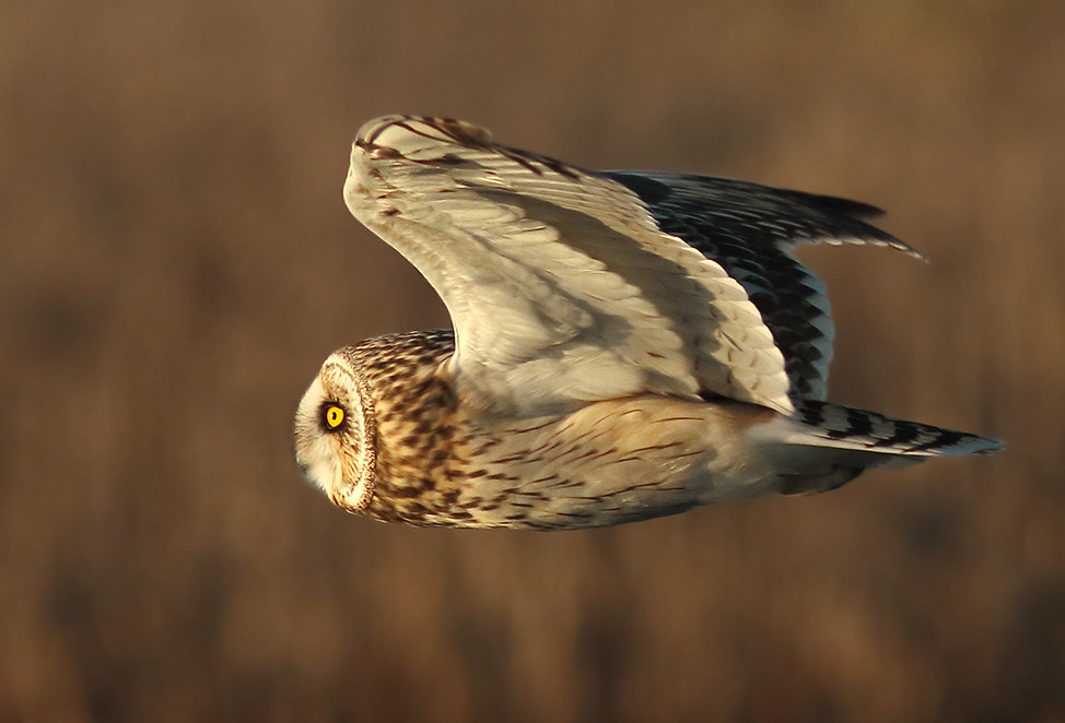 Short-eared Owls nested in NYC in Brooklyn at Floyd Bennet Field until the early 1980s