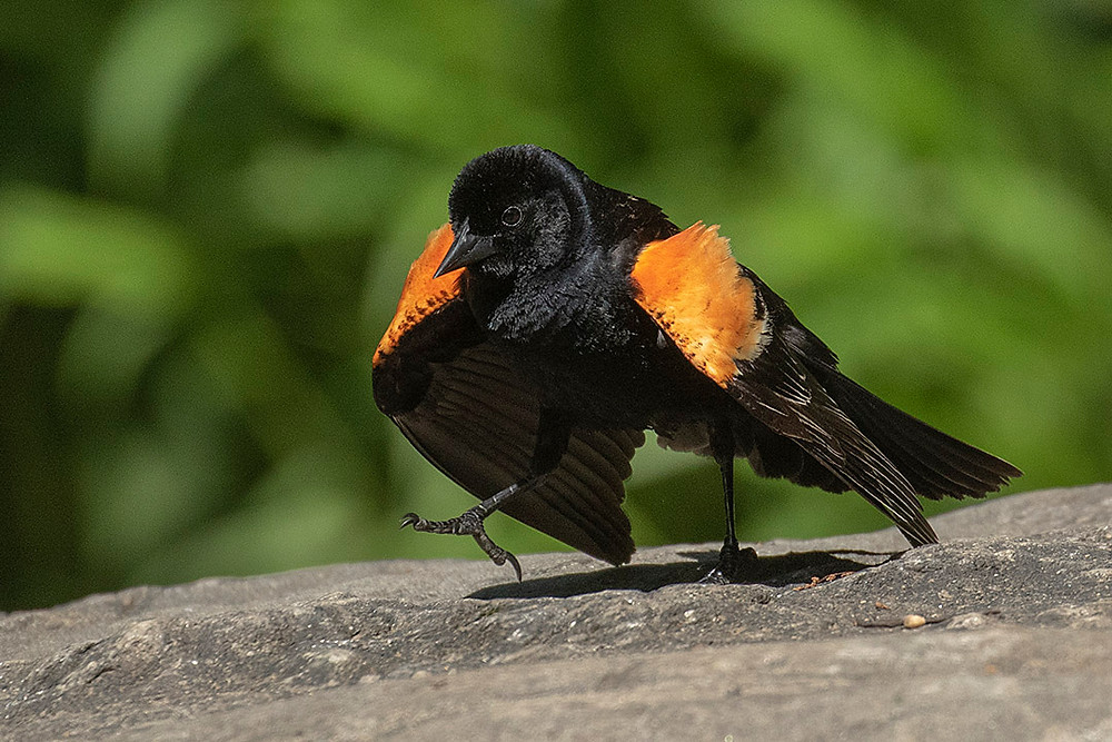 male Red-winged Blackbird doing display by Deborah Allen, Sunday May 26, 2019 at the Oven (Central Park)