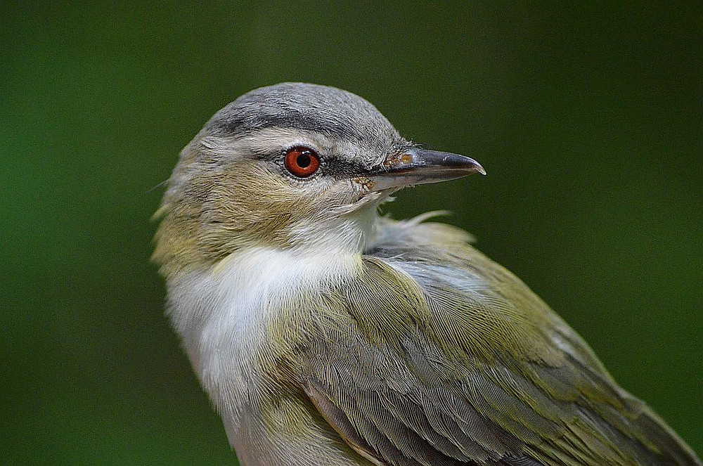 Red-eyed Vireo in Michigan, August 2019, by Doug Leffler