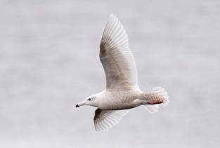 Glaucous Gull (Missouri River)