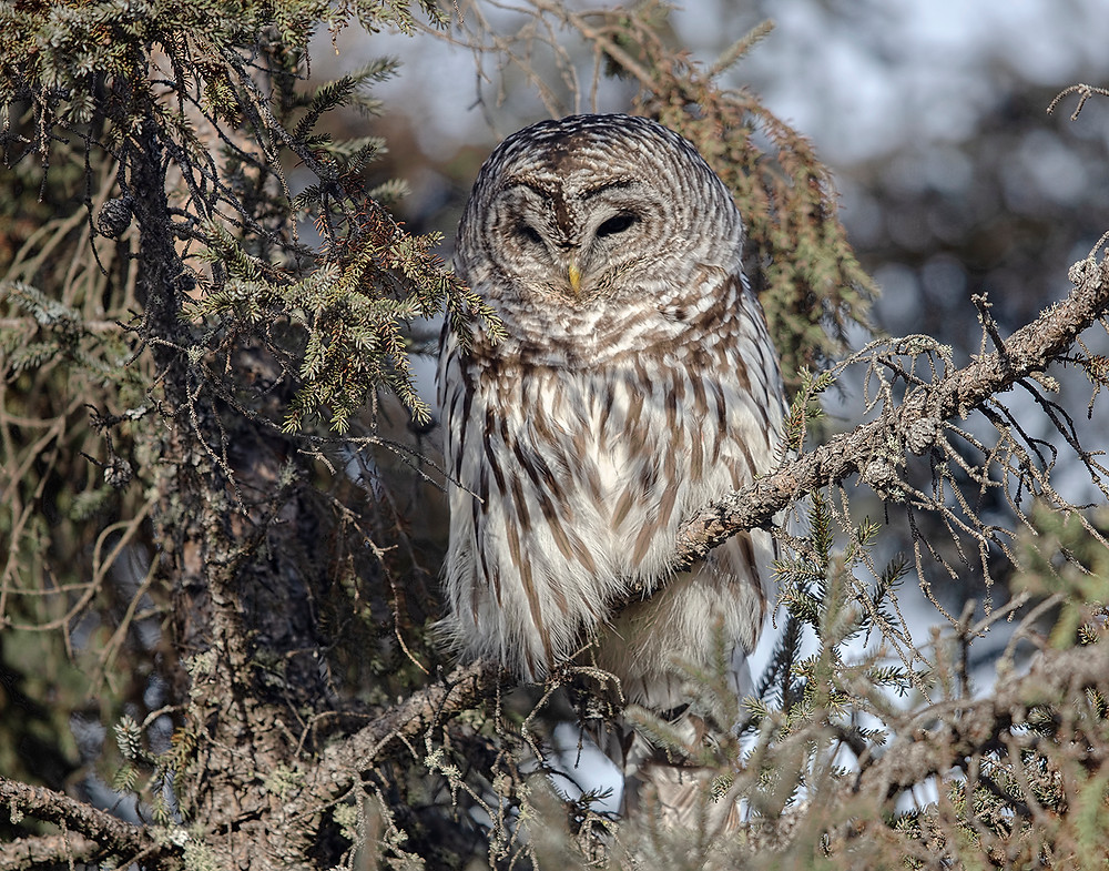 Barred Owl in northern Minnesota in early January 2019 (-20F)