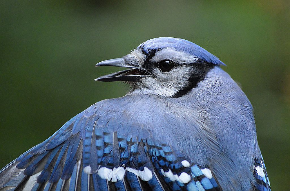 Blue Jay by Doug Leffler