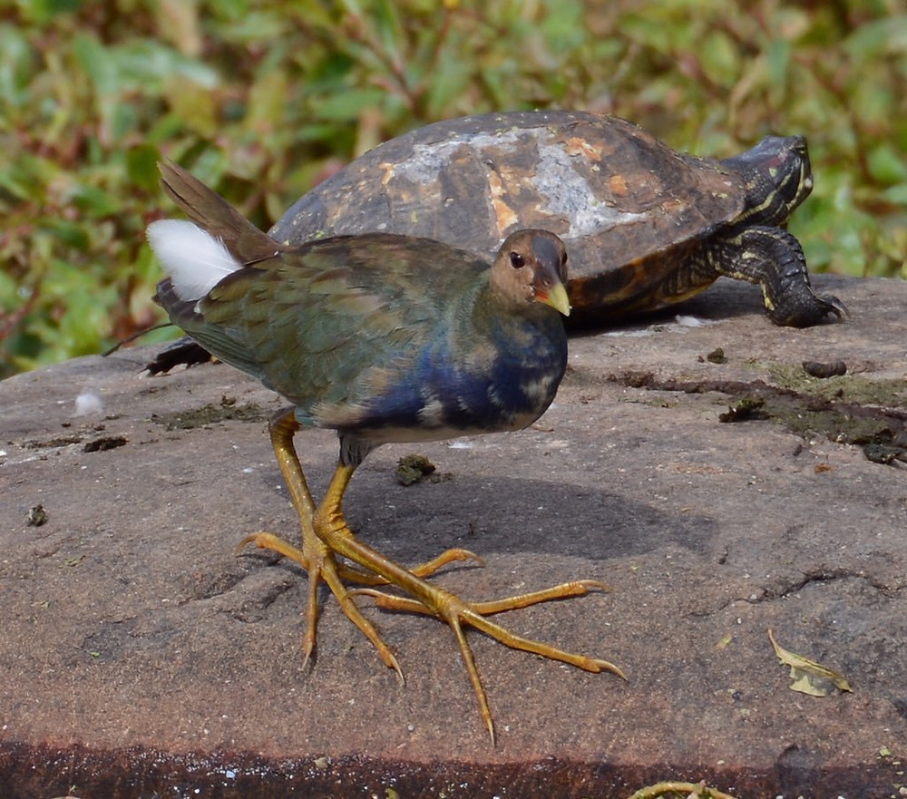 Juvenile Purple Gallinule by Ben Taylor at the Lake (Prospect Park, Brooklyn), 27 October 2018