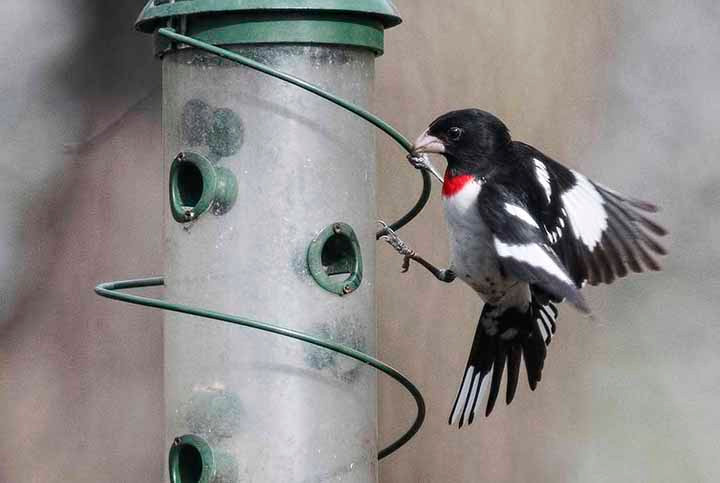 Rose-breasted Grosbeak on 28 April 2018 by Jung Tai (Central Park bird feeders)