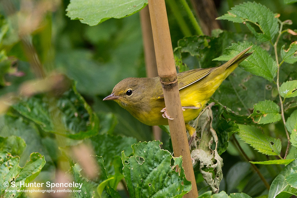 female Mourning Warbler by Stephen Spenceley in September 2017 in the Ramble (Central Park)