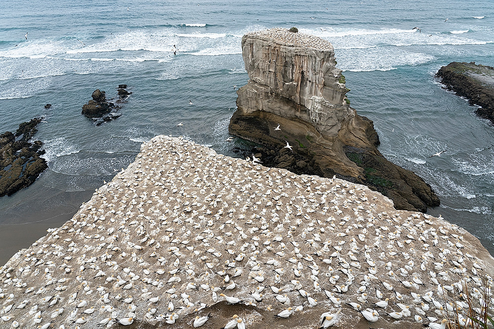 Australasian Gannets at the Muriwai Nest Colony on the North Island on 16 December 2019 - about 30 minute drive from downtown Auckland