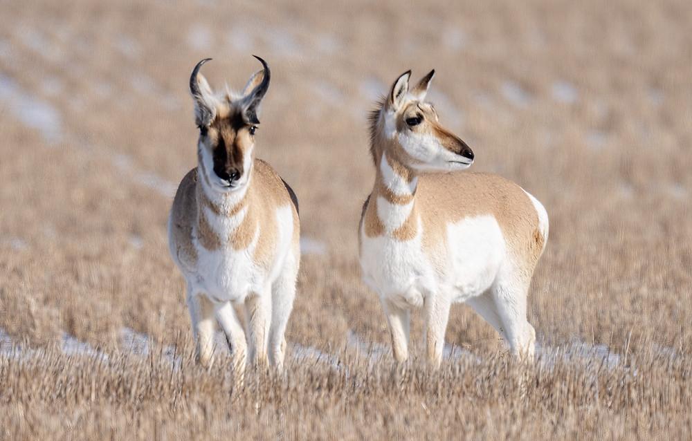 Pronghorn Antelopes (male on left; female right) at Ft. Pierre National Grasslands (South Dakota) on 8 February 2020