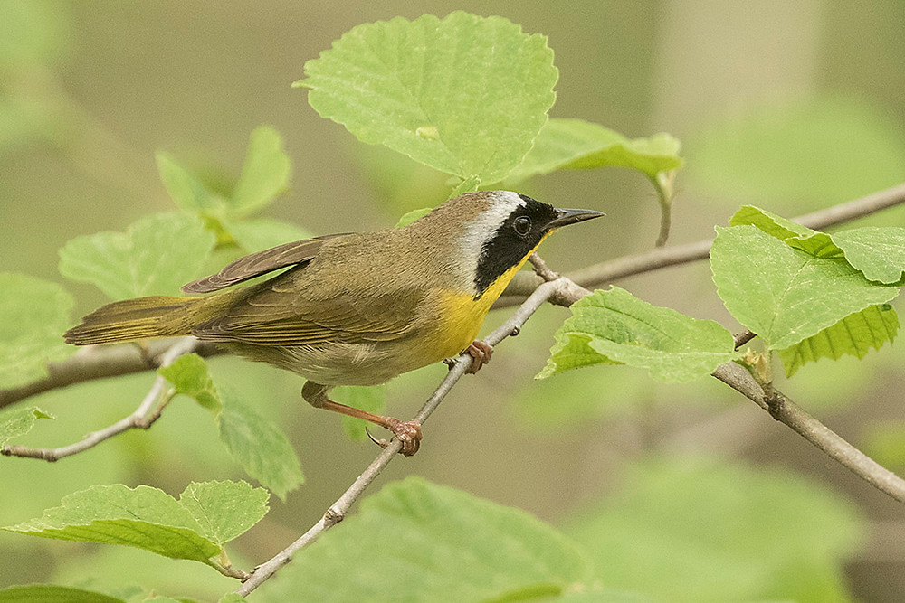 Common Yellowthroat (male) on 4 May 2018 by Deborah Allen (Central Park)