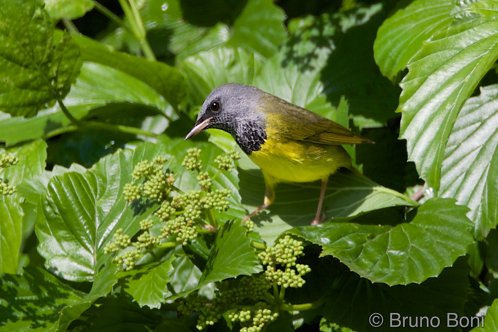 male Mourning Warbler at the Upper Lobe, May 2018 by Bruno Boni